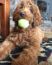 Shedless In Seattle Labradoodles Australian And American